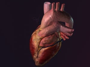 3D anatomical heart